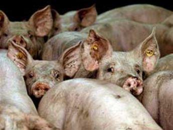 cerdos hacinamiento